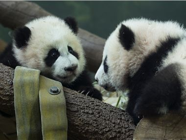 Giant pandas Ya Lun and Xi Lun